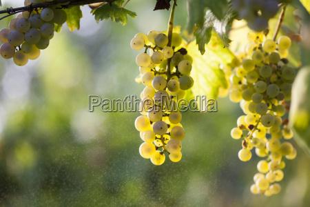 agricultura luz soleado maduro vinya sol