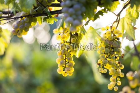 racimo de uva blanca en la