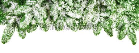 ramas de abeto cubiertas de nieve