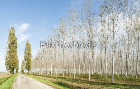 arboleda de alamos y carretera rural