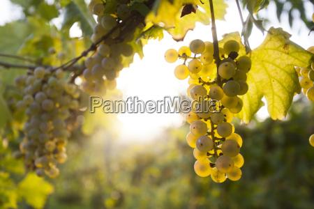 agricultura maduro vinya baya vinyedo grupo