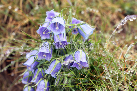 azul primer plano jardin flor planta