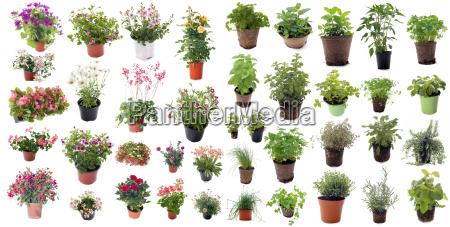 hierbas y plantas de flor aromatica