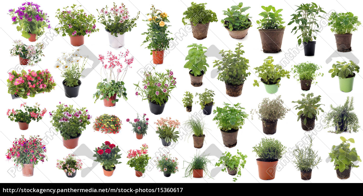 hierbas, y, plantas, de, flor, aromática - 15360617