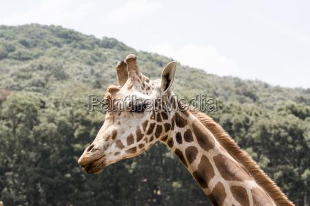 giraffe showing the tongue and teeth