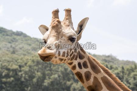 mirada de la jirafa