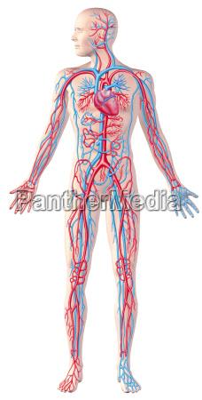 sistema circulatorio humano figura completa ilustracion