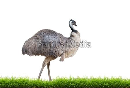 emu con hierba verde aislado