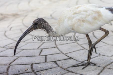 ibis australiano
