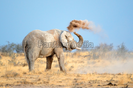 africa elefante polvo colmillo fauna africano