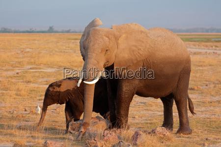 elefante africano con ternero
