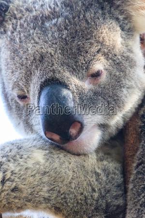 reflexionando sobre el koala