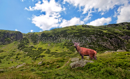 red deer bellowing in the mountains