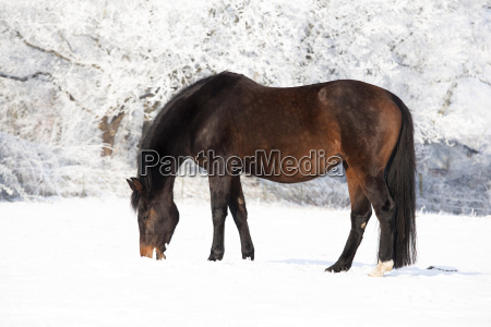 wearing mare in the snow