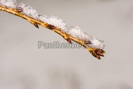 ramita con brotes cubiertos de nieve