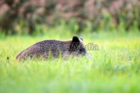 wild boar hidden in the grass