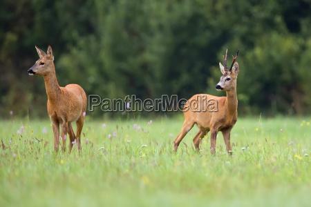 buck deer with roe deer in
