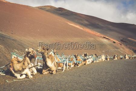 caravana de camellos en el desierto