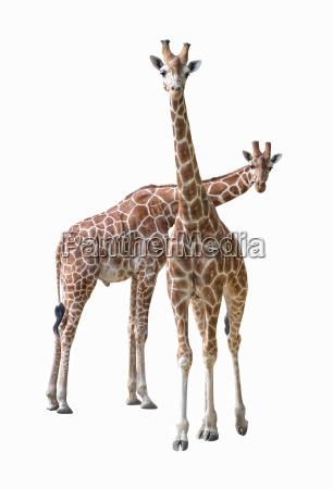 liberado color femenino animal mamifero marron