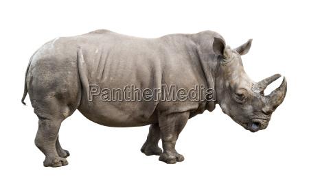 rinoceronte blanco viejo macho recorte