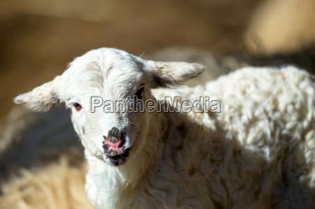 ovejas con cordero en granja rural