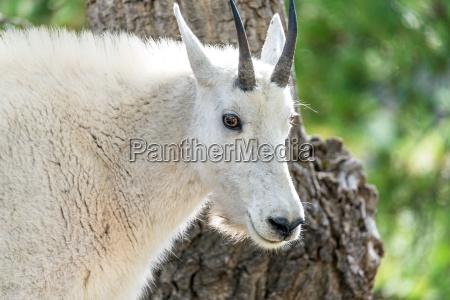 rocky mountain goat closeup