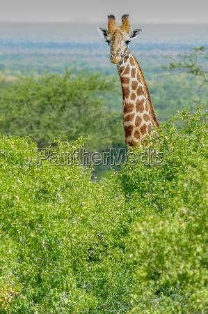 animal africa kenia sabana fauna safari