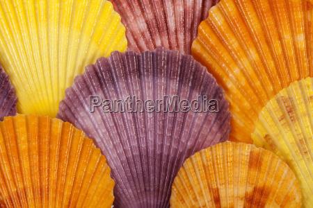 fondo con coloridas conchas de moluscos
