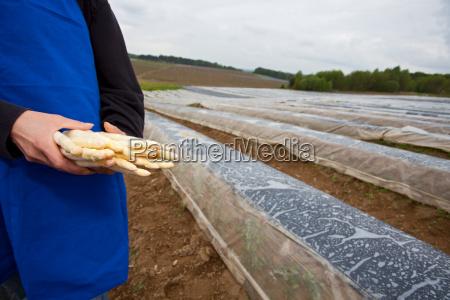 el agricultor mantiene los esparragos frescos