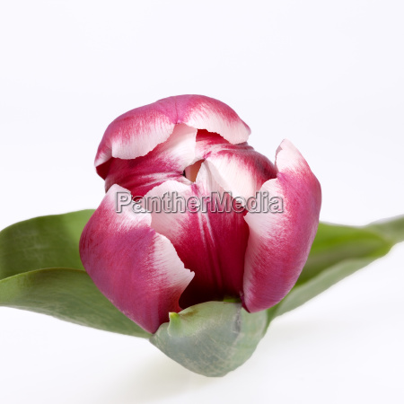 single flower of red tulip isolated
