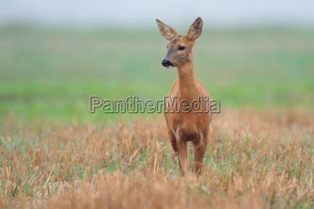 roe deer in a clearing
