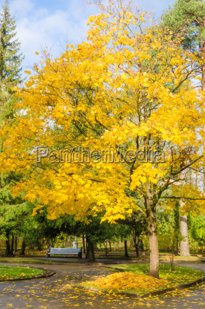 maple with yellow leaves in autumn