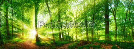 forest panorama with sunbeams shining through