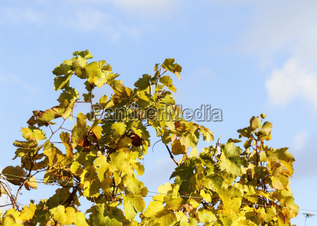 foliage in the vineyard in autumn