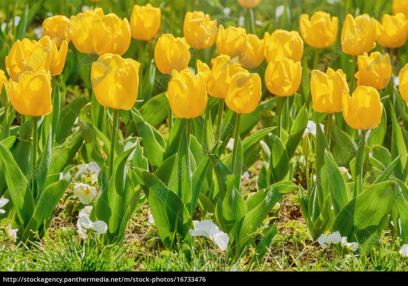 Lecho De Flores De Tulipanes Amarillos Stockphoto 16733476