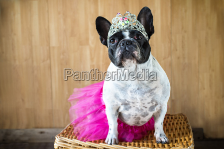 retrato de bulldog frances vestida como
