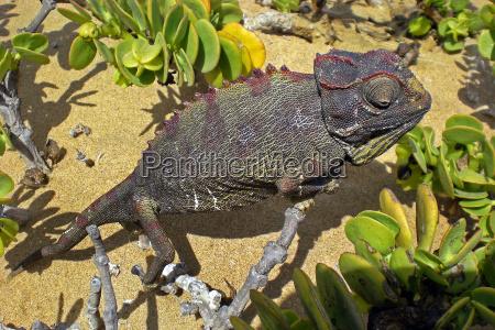 desierto animal reptil africa lagarto namibia