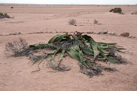 desierto flor planta africa namibia hojas