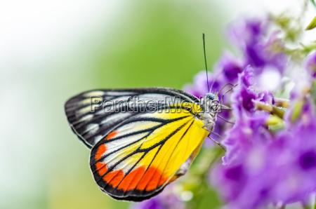 mariposa colorida pintada de jezebel
