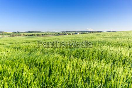 campo de cebada en mayo