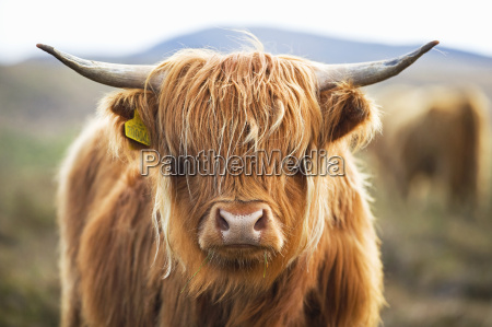 close up of highland cow on