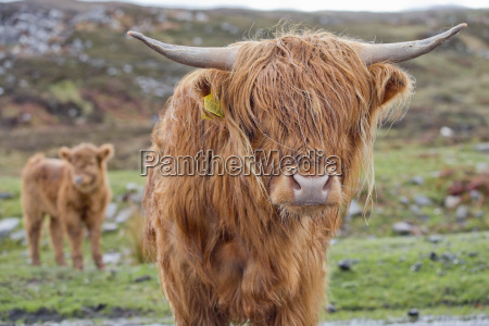 portrait of highland cow with calf