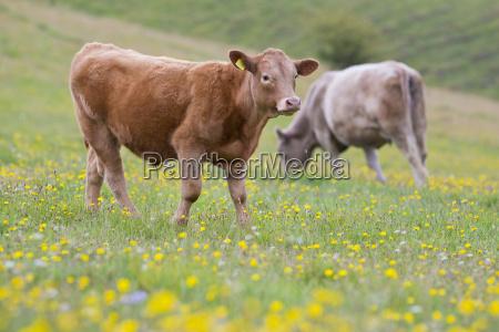 devon calf in rural field