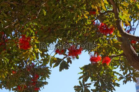 australia flores sangrar rojo