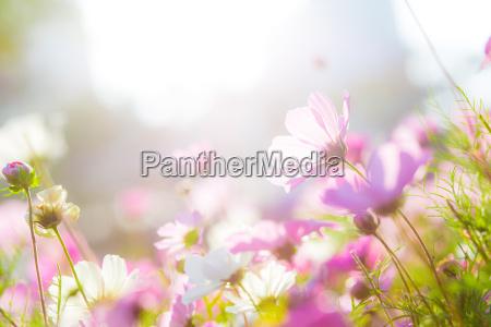 cosmos flores en el jardin