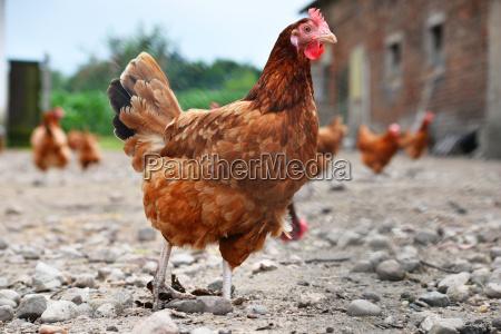 pollos en granja de aves de