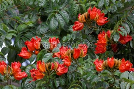 naranja australia flores sangrar