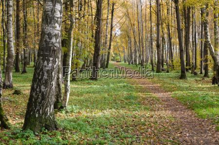 birch alley sunny autumn day