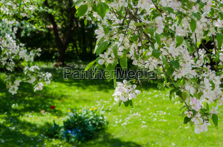 garden with blossoming apple trees a