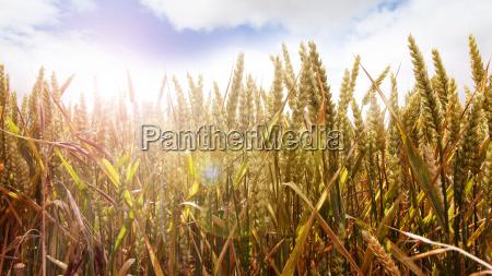 campo de maiz dorado en un